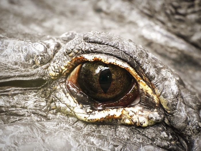 Is Watching You Be Careful Crocodile Reptile Eye Close-up One Animal Animal Animal Themes No People Animal Body Part Animal Eye Nature Looking At Camera EyeEmNewHere