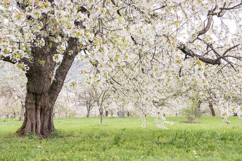 Beauty In Nature Branch Day Flower Growth Nature No People Outdoors Springtime Swabian Alb Tree White Blossoms On Tree