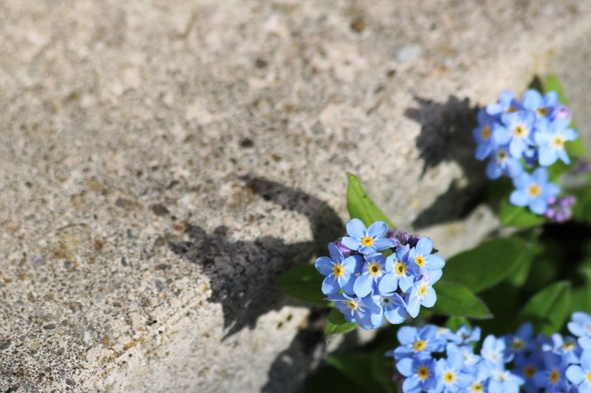 Forget-me-nots growing around a concrete step. Beauty In Nature Blooming Close-up Day Flower Flower Head Forget Me Not Forget Me Nots Forget-me-not Forget-me-nots Freshness Growth Myosotis Nature No People Outdoors Petal Plant Spring Spring Flowers Spring Has Arrived Urban Flowers Art Is Everywhere Nature Finds A Way Nature On Your Doorstep
