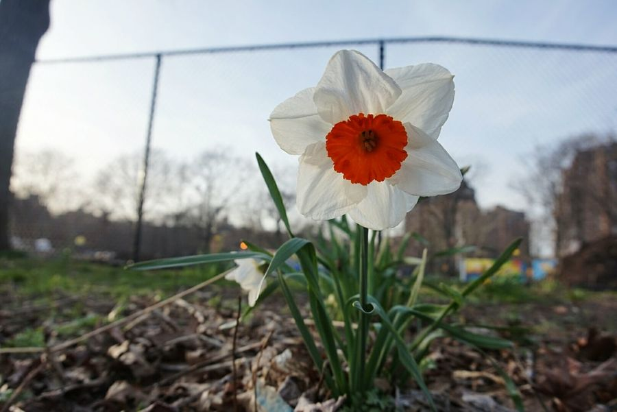 Focus On Foreground Beauty In Nature No People Outdoor Photography Daffodils Flowers_collection Springtime White Flower Unedited NYC Parks The Great Outdoors - 2017 EyeEm Awards Stories From The City Visual Creativity A New Beginning A New Perspective On Life