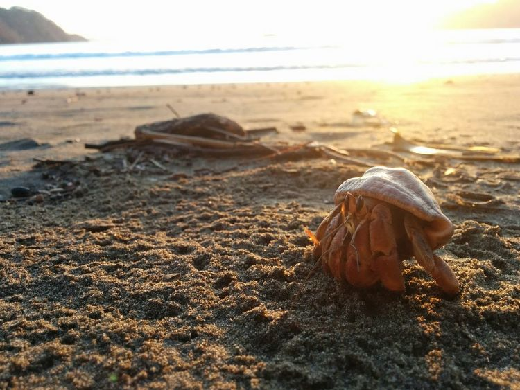 sunrise on Playa Curú Hermit Crab Hermit Crab In A Shell So Cute Costa Rica Happy Fish EyeEm Selects Beach Sand Sea Nature Day Seashell No People Outdoors Water Horizon Over Water Animal Themes Close-up Wave Sea Life Beauty In Nature
