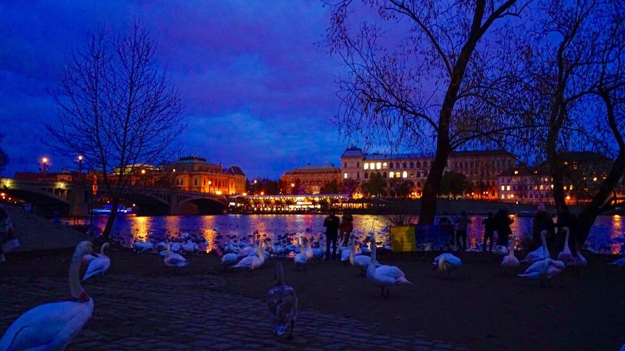 Prague Czech Republic Prague River Prague At Night Animal_collection Night Photography Night Lights Architecture River View Swans