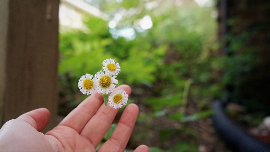 Touch Touching Copy Space Human Hand Hand Human Body Part Plant Flowering Plant Flower Holding Freshness One Person Fragility Vulnerability  Beauty In Nature Body Part Close-up Unrecognizable Person Focus On Foreground Flower Head Nature Finger Human Finger Outdoors Pollen Wildflower Daisy In Bloom Plant Life Blooming