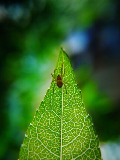Insect Leaf One Animal Green Color Animals In The Wild Animal Themes Animal Wildlife Nature Beauty In Nature Day No People Close-up Outdoors Spider LeTv X600 LeEco Springtime Macro