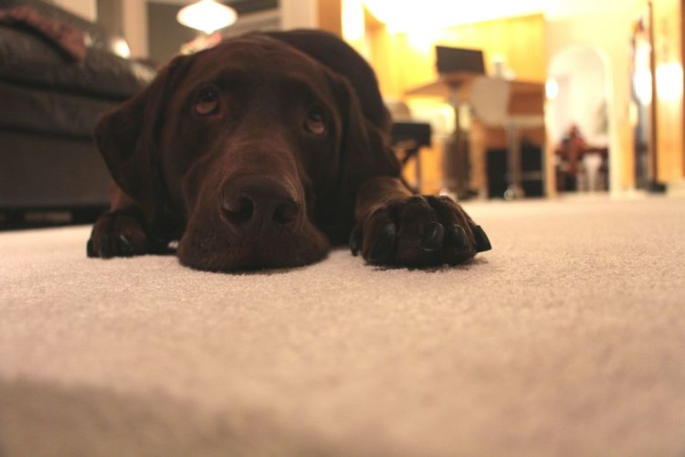 Surface level view of chocolate labrador retriever lying on rug at home