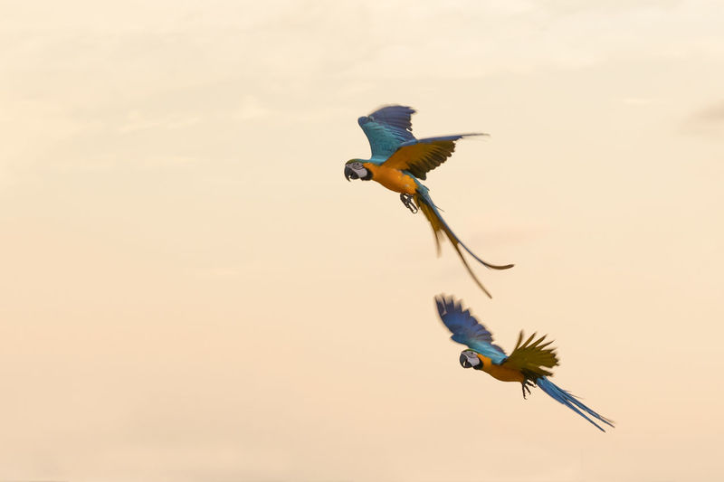macaws flying