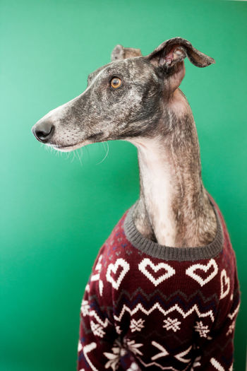 Acting Autumn Christmas Funny Galgo Hat Winter Animal Clothes Cozy Dog Domestic Animals Galgoespañol Greyhound Heart Pets Portrait Portraiture Sweater Warm Whool