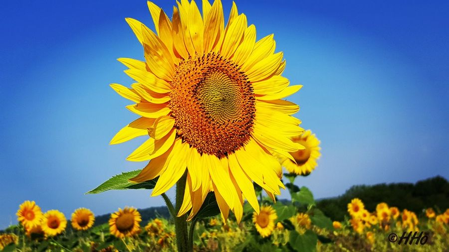 Close-Up Of Yellow Sunflower On Field Against Clear Sky