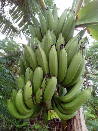 Banana Green Color Growth Fruit Nature Tree No People Food Tropical Climate Close-up Outdoors Freshness Day Wet Bananas Bananas With Waterdroplets Food And Drink Healthy Eating Banana Tree Unripe