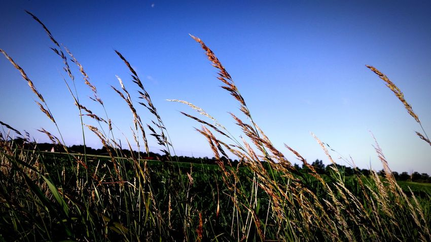 Growth Crop  Nature Cereal Plant Rural Scene Plant Agriculture Field Outdoors Day Sky Beauty In Nature Freshness Landscape Eyeem Photography Eyeemmarket Great Outdoors Wege Und Strassen EyeEmBestPics Eye Em Nature Lover Backgrounds Blauer Himmel Morgenstimmung Morgen! ☀ Morning Sky