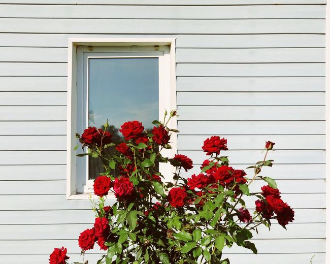 Rose plant by house