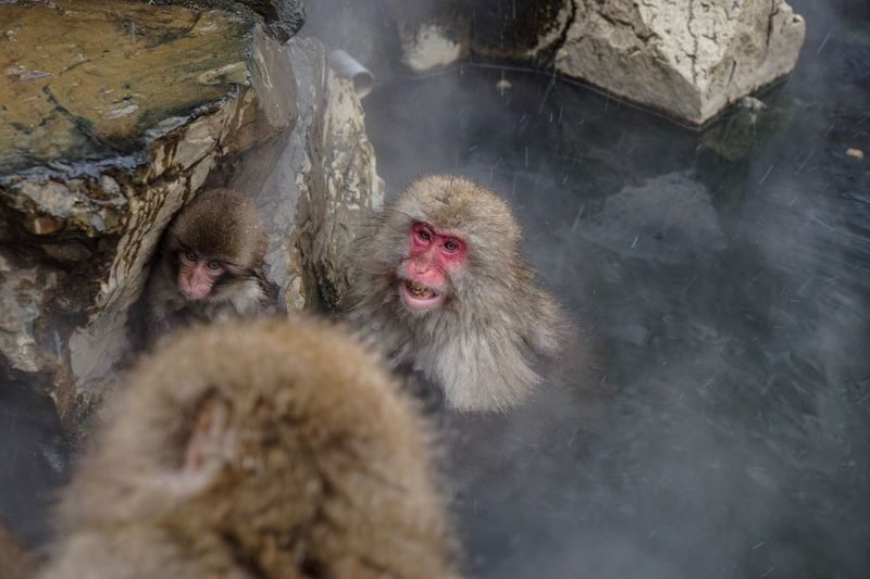 Animal Themes Japanese Macaque Animals In The Wild Mammal Monkey Cold Temperature No People Animal Wildlife Nature Outdoors Day Snowmonkeys Hot Spring Geology 地獄谷野猿公苑 Travel Destinations at Jigokudani-Snow-Monkey-Park in Nagano Prefecture,Japan Mouth Open Primate Domestic Animals Snowing Winter Ape Animal Portrait EyeEmNewHere Adapted To The City