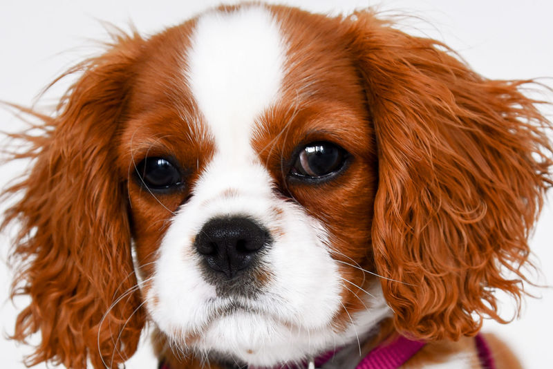 Cavalier King Charles puppy copper color making eye contact close up. Adoption Obedience Service Therapy Veterinarian Adorable Animal Animal Themes Brat Cavalier King Charles Spaniel Close Up Close-up Cute Day Dog Domestic Animals Fleas And Ticks Indoors  Mammal No People One Animal Pets Portrait Rescue Training