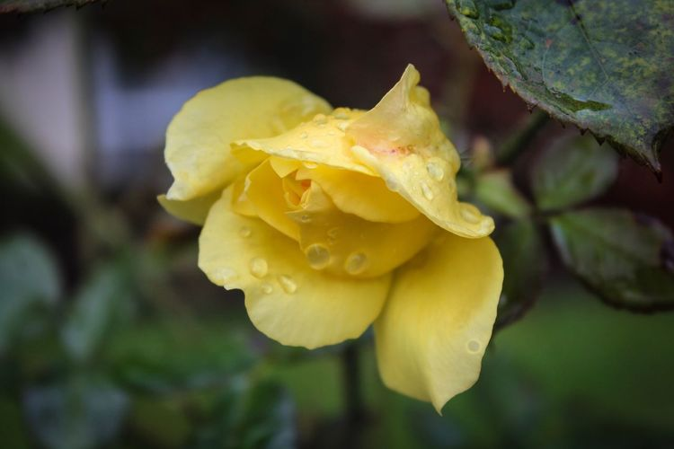 Flower Nature Beauty In Nature Fragility Petal Yellow Growth Drop Plant Close-up No People Flower Head Freshness Focus On Foreground Outdoors Wet Blooming Day Rose - Flower Water