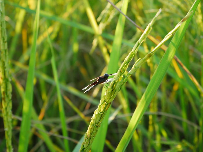 Dragonfly Animal Animal Themes Animal Wildlife Animals In The Wild Beauty In Nature Blade Of Grass Close-up Day Field Focus On Foreground Grass Green Color Growth Insect Invertebrate Land Nature No People One Animal Outdoors Plant