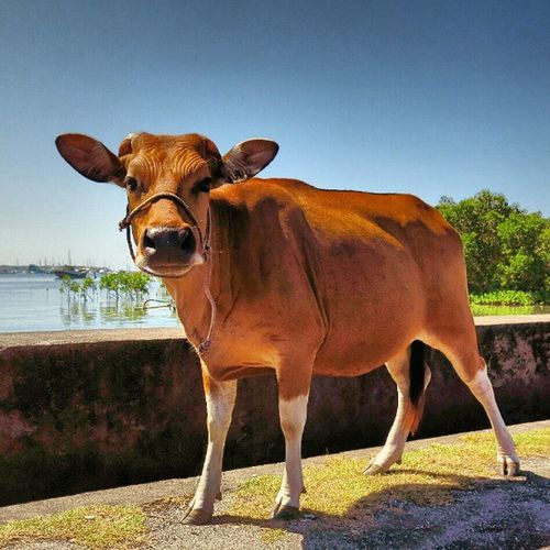 Hello good morning all... Cow Benoa Bali INDONESIA canon g15