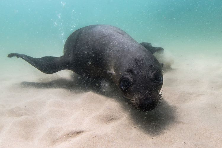 Scubadiving with seals underwater photography Underwater Scuba Diving SCUBA Seal Animal Themes Animal One Animal Animals In The Wild Underwater Animal Wildlife Mammal Sea Water Nature Sea Life No People Sand UnderSea Sea Lion Outdoors Day Marine