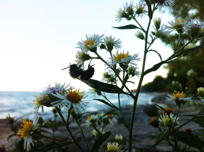 Lakeontario  Flowers Yellow White Beach Summer Sky