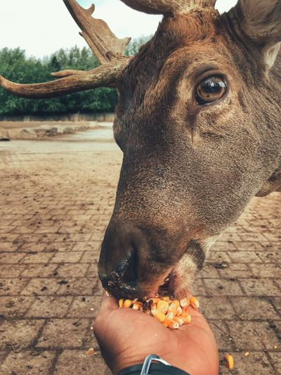 Feeding deer with hand. Human Body Part Human Hand One Person Animal Themes One Animal Outdoors Holding Personal Perspective Human Finger Day Real People Close-up Lifestyles Mammal Eating Food People Nature One Man Only Deer Hand Feeding Ontario