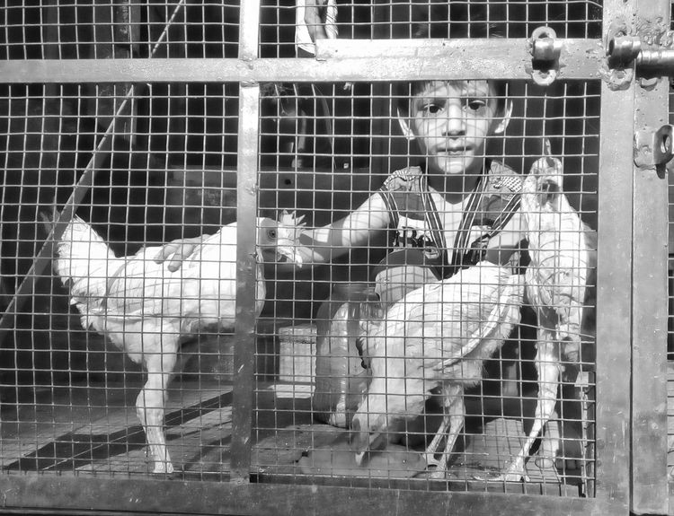 Cage Birdcage Chicken - Bird Boys Childhood Elementary Age Lifestyles Happiness Portrait Domestic Animals Outdoors Smiling People Day Animal Themes India City Life The Essence Of Summer Peace