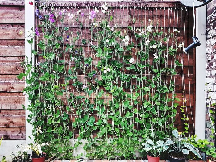 Plant Nature Growth Sweet Peas Living Wall Garden Homegrown Scented Wall