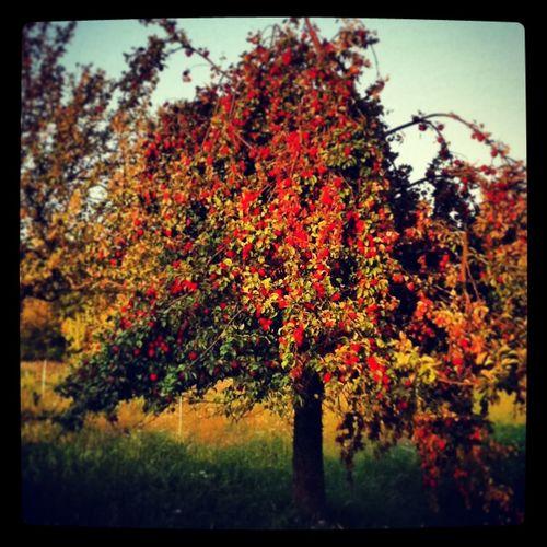 Baum Eden Red