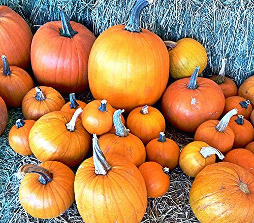 Pumpkins Fall_collection Autumn Pumpkinpatch Halloween PumpkinPatch🎃