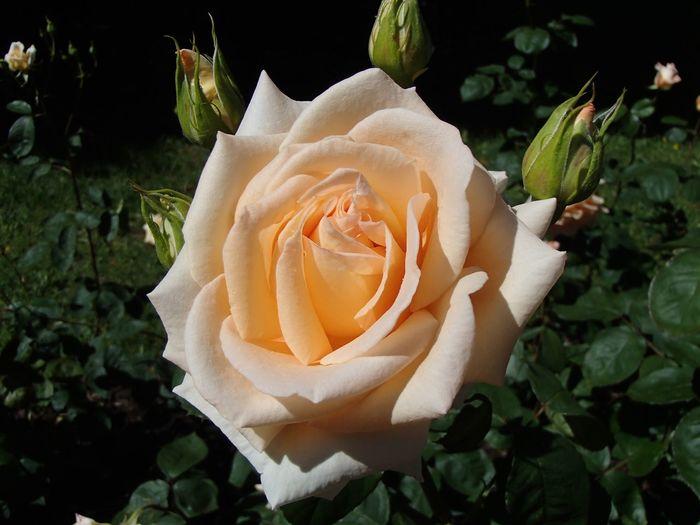White rose Rose - Flower Flower Flowering Plant Plant Petal Beauty In Nature Freshness Inflorescence Flower Head Close-up