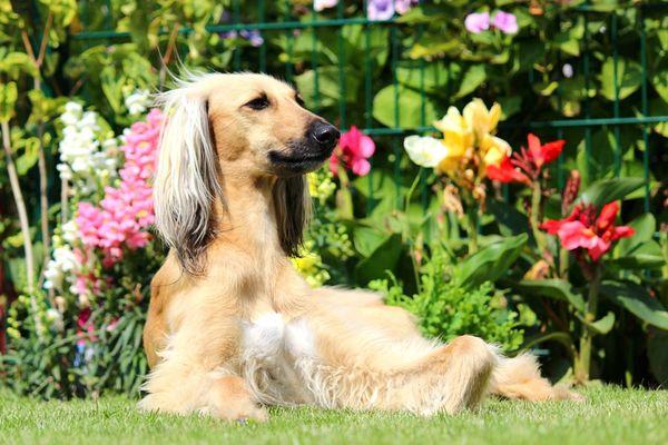 Summer Dogs Summer Summertime Afganhound Garden Sunshine Afghan Hound Sighthound Afghan Relaxing