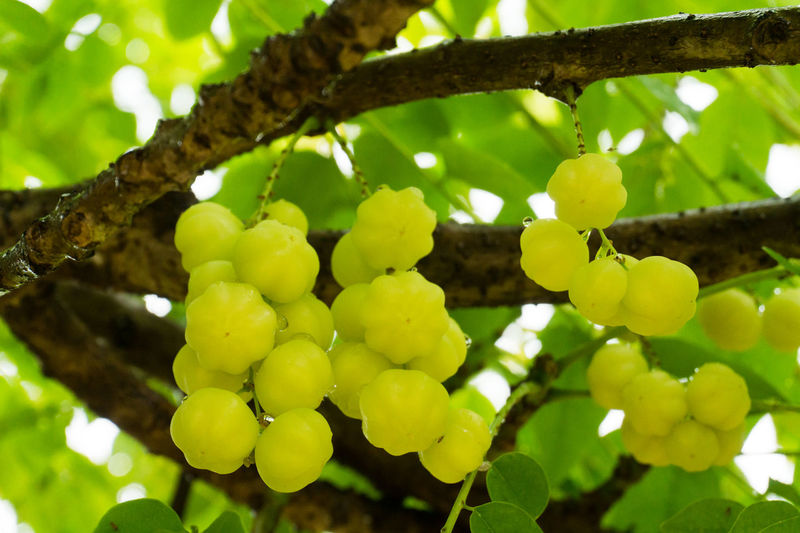 Star Gooseberry Agriculture Beauty In Nature Branch Bunch Close-up Day Food Food And Drink Freshness Fruit Grape Green Color Growth Hanging Healthy Eating Leaf Low Angle View Nature No People Outdoors Plant Tree Unripe