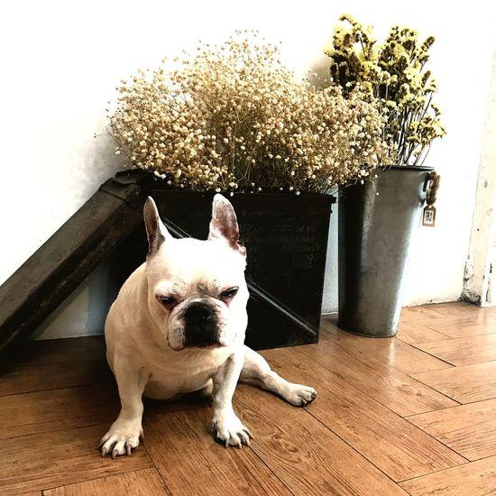 Pets One Animal Dog Bulldog Hardwood Floor Domestic Animals Indoors  Animal Themes