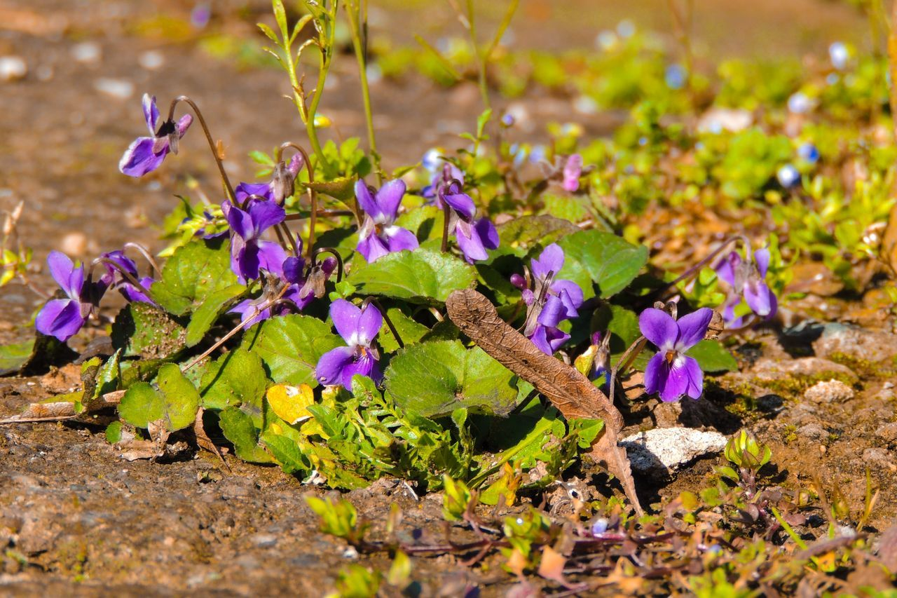 Close-Up Of Fresh Purple Flowers Blooming With Fallen Dry Leaf