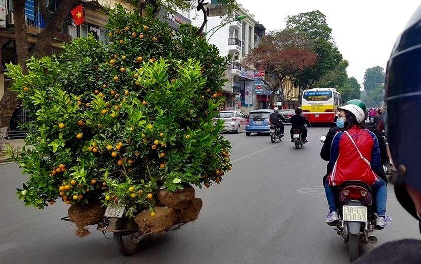The Passenger Cumquat Tree Cumquat Delivery Service Hanoi, Vietnam Street Photography Traffic Vietnam Delivery Man The Courier Only In Vietnam Tết Opportunist The Things You See  Shot From The Passenger Seat Amateur Photography Tree On A Moto Moto Delivery Motorbike Carrying Cumquat