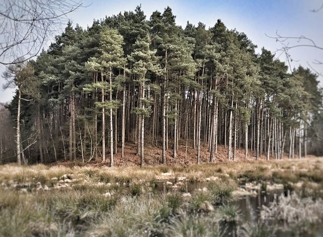 Tree Nature Growth Tranquility Tree Trunk Forest Outdoors Tranquil Scene Beauty In Nature No People Day Landscape Sky Delamere