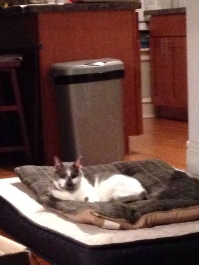 The dog bed is occupied. Cat MarblesMcGee Smartcookie
