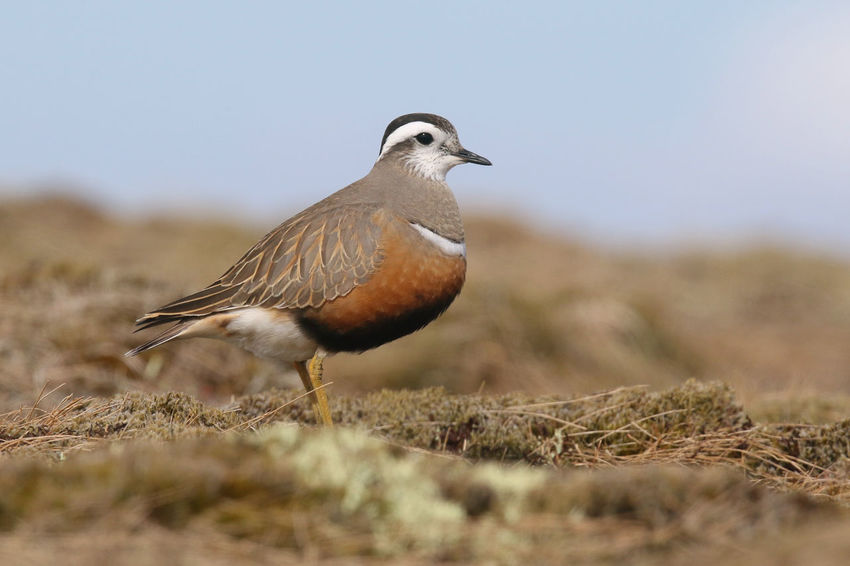 Aves Birds Of Scotland Cairngorms Cairngorms National Park Dotterel Eurasian Dotterel Scotland Animal Themes Animal Wildlife Animals In The Wild Bird Day Highlands Nature Outdoors Wader Waders