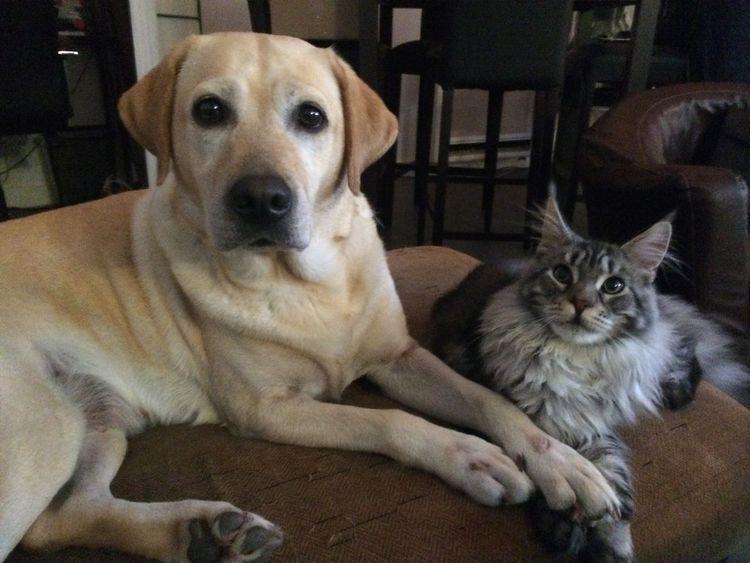 Ils ne sont pas beaux mes amours ? Labrador Mainecoon Lafamille Dog Cat