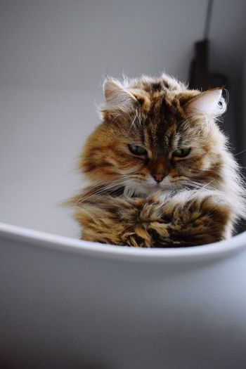 Close-Up Of Cat Relaxing In Tub