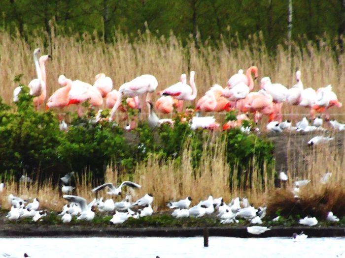 Flamingo Beauty In Nature Water EyeEm Nature Lover Nature_collection EyeEm Best Shots Flamingo Lake Möwen Möwen Am See Beautiful Day Zwillbrocker Venn Zoom