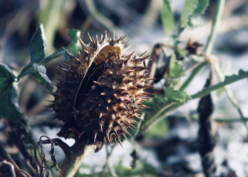 toxic datura plant on field Autumn Copy Space Field Green Stechapfel Beauty In Nature Beauty In Nature Berliner Ansichten Brown Close-up Datura Flora Flower Flower Head Focus On Foreground Fragility Garden Growth Leaf Nature No People Outdoors Plant Thistle Toxic