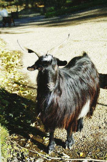 Goat selfy mode One Animal Animal Themes No People Animals In The Wild Day Mammal Nature Animal Wildlife EyeEmNewHere