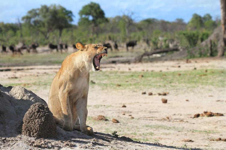 Lioness Yawning On Landscape