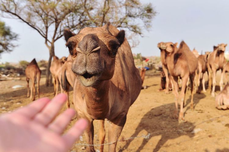 Camel Taking Photos Animals Four Legs And A Tail Desert Life ThatsMe From Where I Stand