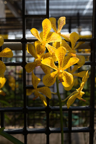 Beauty In Nature Blooming Close-up Day Flower Flower Head Focus On Foreground Fragility Freshness Growth Nature No People Outdoors Petal Plant Vanda Yellow