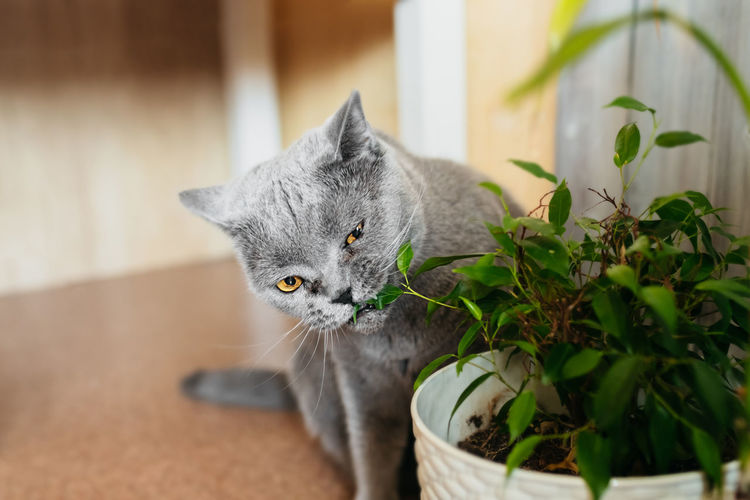 British purebred gray shorthair cat nibbles on green ficus benjamin plant in pot in home room