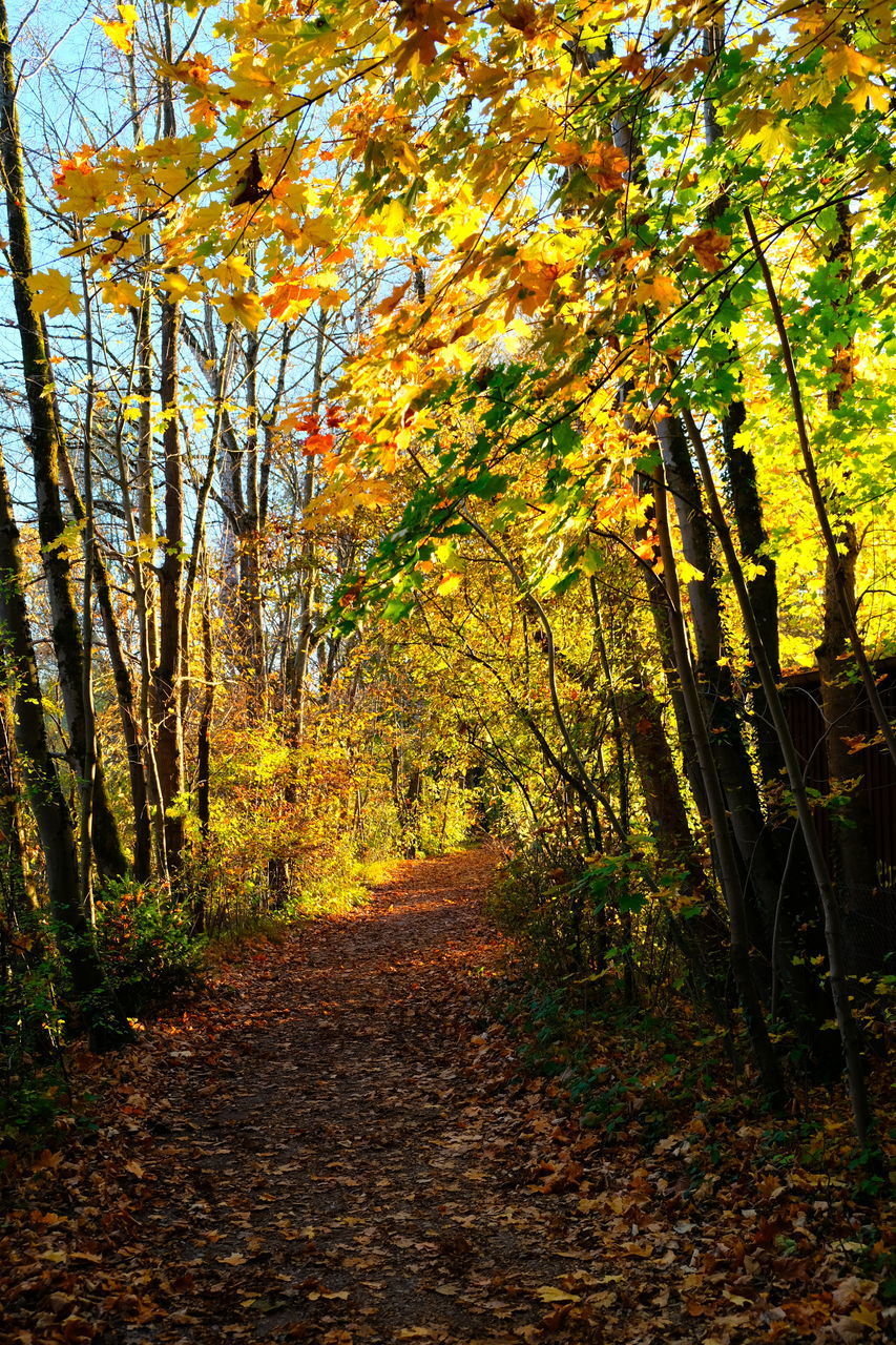 tree, autumn, plant, change, direction, the way forward, nature, tranquility, beauty in nature, no people, footpath, land, growth, tranquil scene, orange color, day, forest, outdoors, diminishing perspective, leaf, autumn collection, fall, treelined