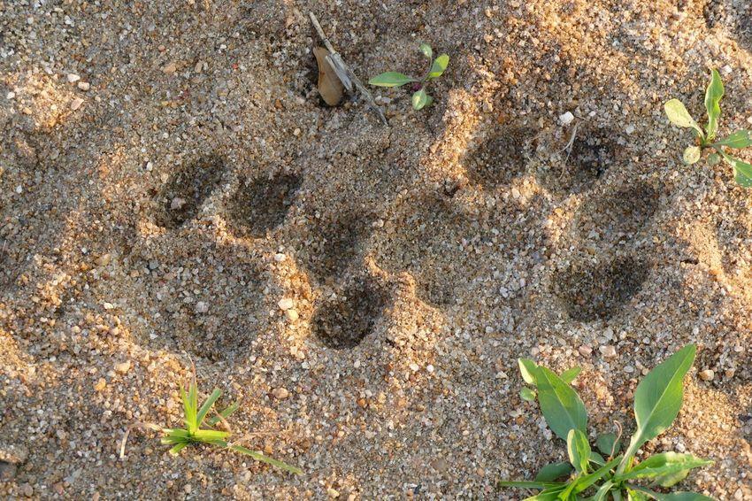 EyeEm Best Shots Photography Safari Nature Animal Animals South Africa Lion Paws Paw Prints Paw GameDrive Savannah Klaserie Kruger Park