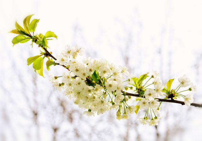 Blooming Blossom Botany Cherry Blossom Flower Growth In Bloom Nature Selective Focus Springtime White