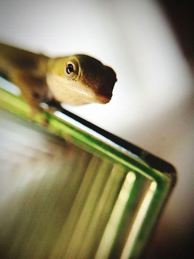 Juvenile lizard