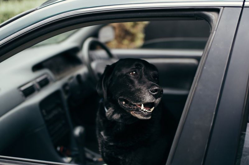 Close-up of black dog in car